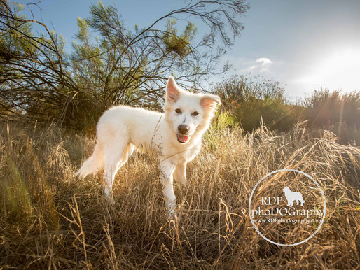 Great Pyrenees Puppies | Adoptable Dogs in San Diego | San Diego Pet Photographer