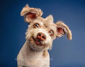 Corgi puppy orange background Dallas dog photography