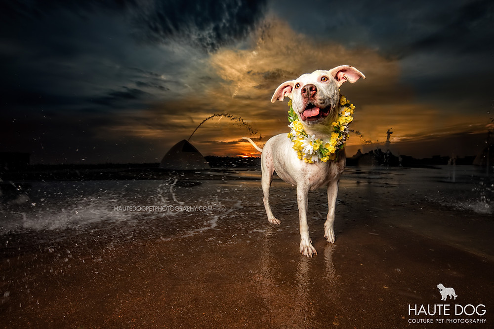 pit bull with flowers at Rockwall Harbor near Dallas | © Haute Dog: Couture Pet Photography