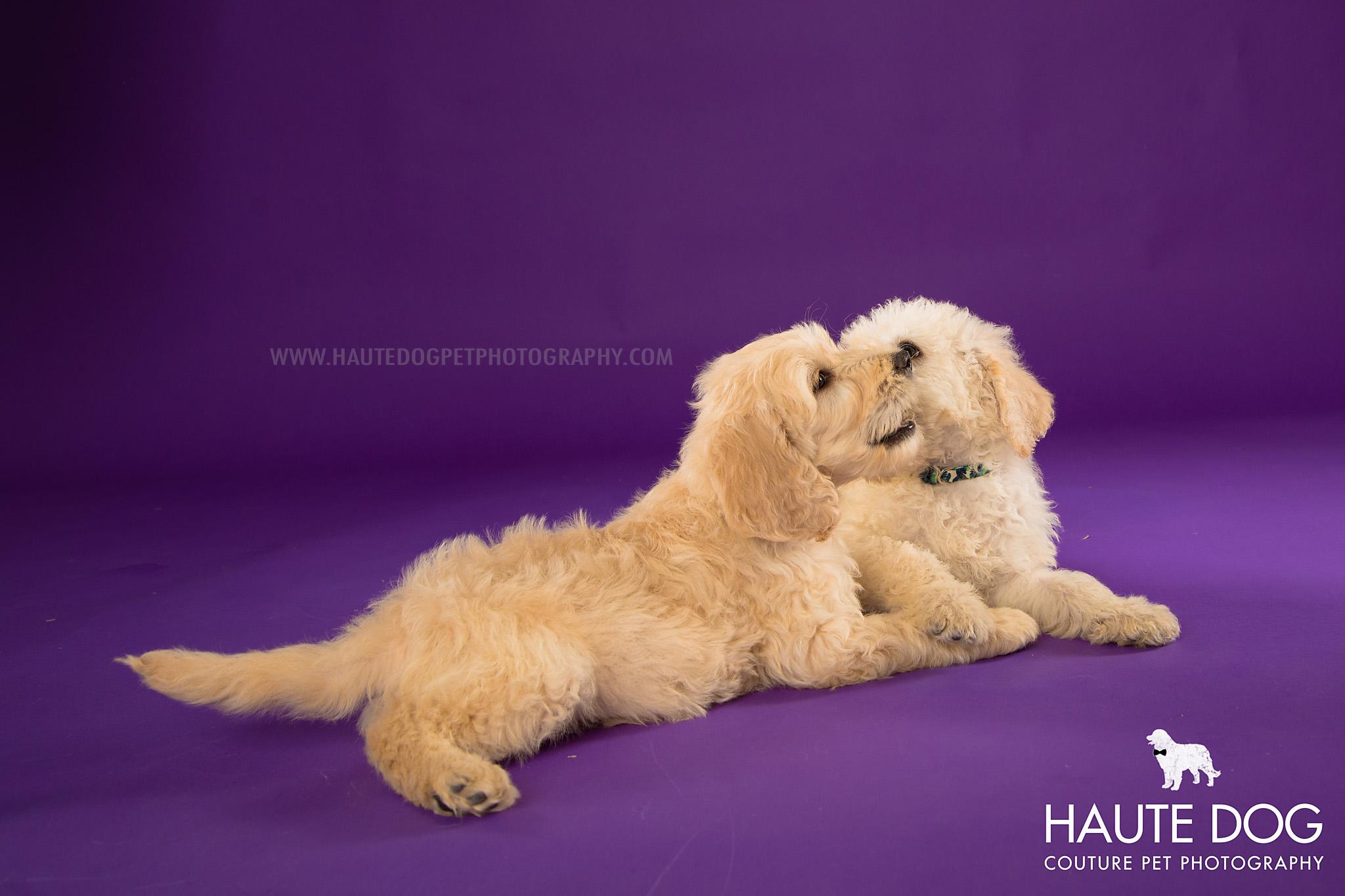 Dallas pet photographer doodle puppies