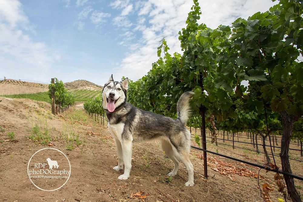Husky at Temecula winery | San Diego Pet Photographer