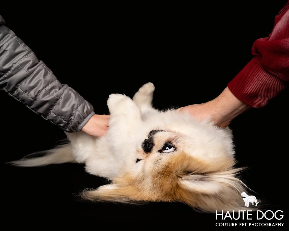 Dallas pet photographer Pekingese tummy rubs