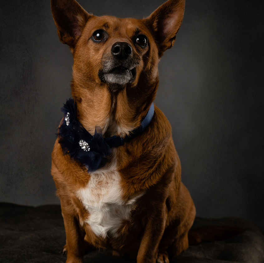 Dallas dog photographer Chihuahua