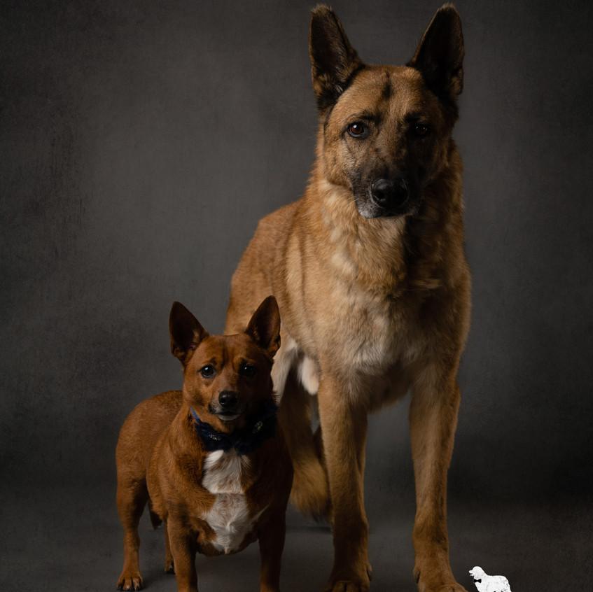 Dallas dog photographer German Shepherd and Chihuahua