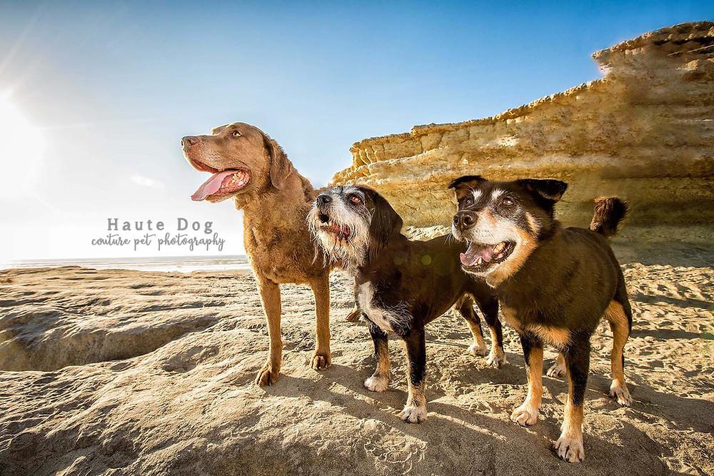 Dogs on Del Mar Dog Beach - San Diego pet photographer