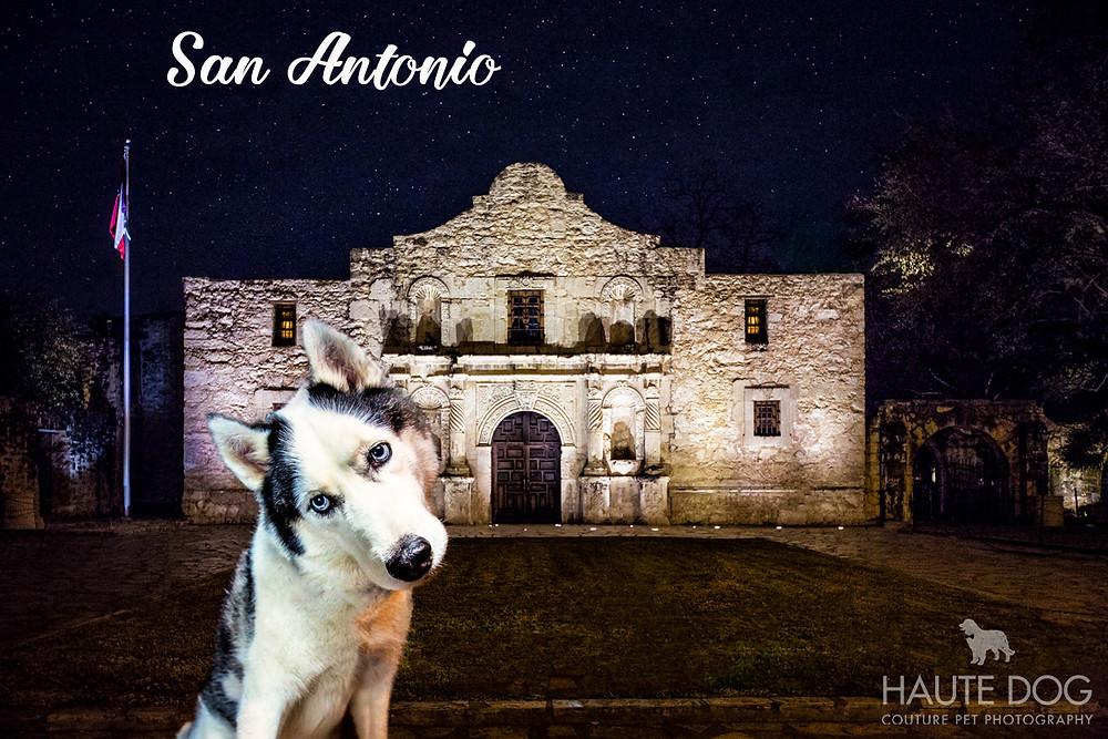 Husky at Alamo Dallas pet photography