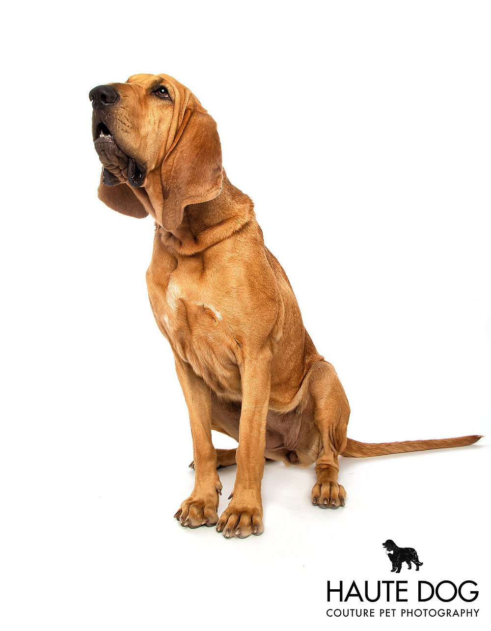 Bloodhound scent smelling working dog on white background