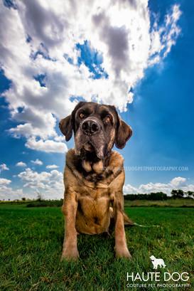 Dallas Mastiff