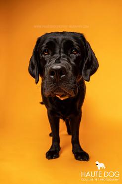 labrador in Dallas pet photography studio
