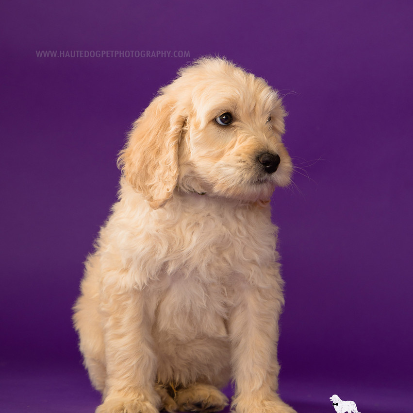 Dallas doodle puppy dog photographer