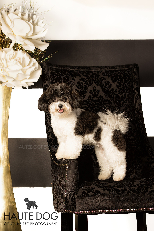Cavapoo Cavalier Spaniel Doodle on fancy chair Dallas dog photo