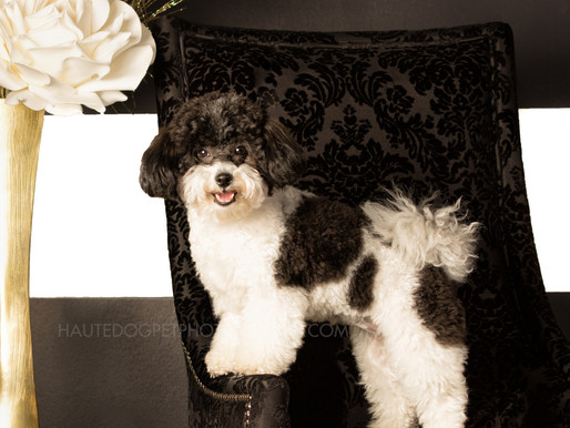 Introducing Dallas's Most Posh Pet Photography Studio Sessions!