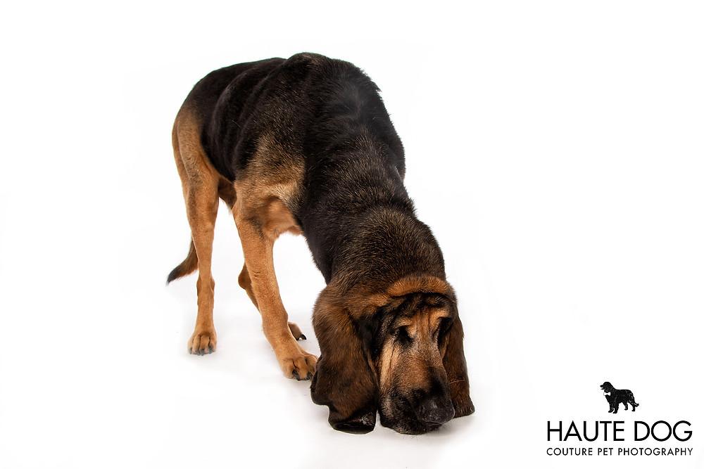 Bloodhound scent trail working dog on white background