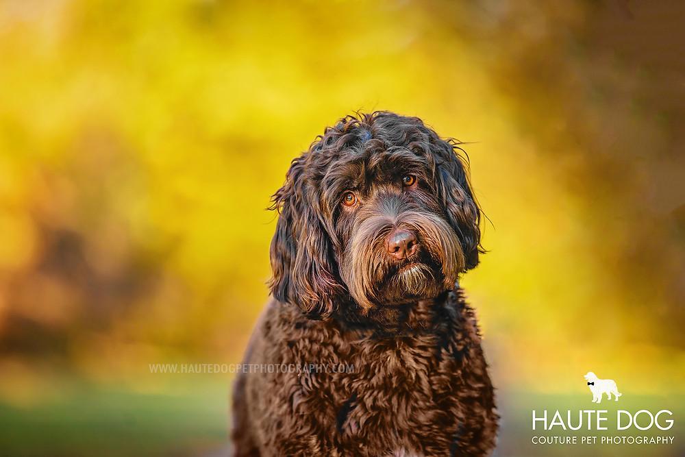 Dallas pet photographer Doodle autumn leaves