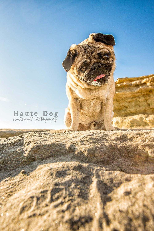 Pug on Del Mar Dog Beach - San Diego pet photographer
