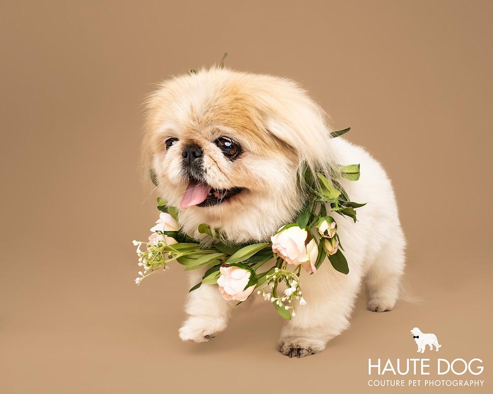 Dallas pet photographer pekingese with flowers