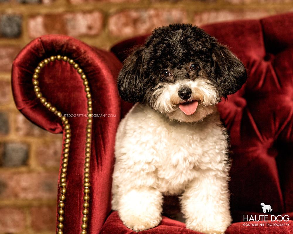 Dallas pet photography studio Cavapoo on red velvet couch