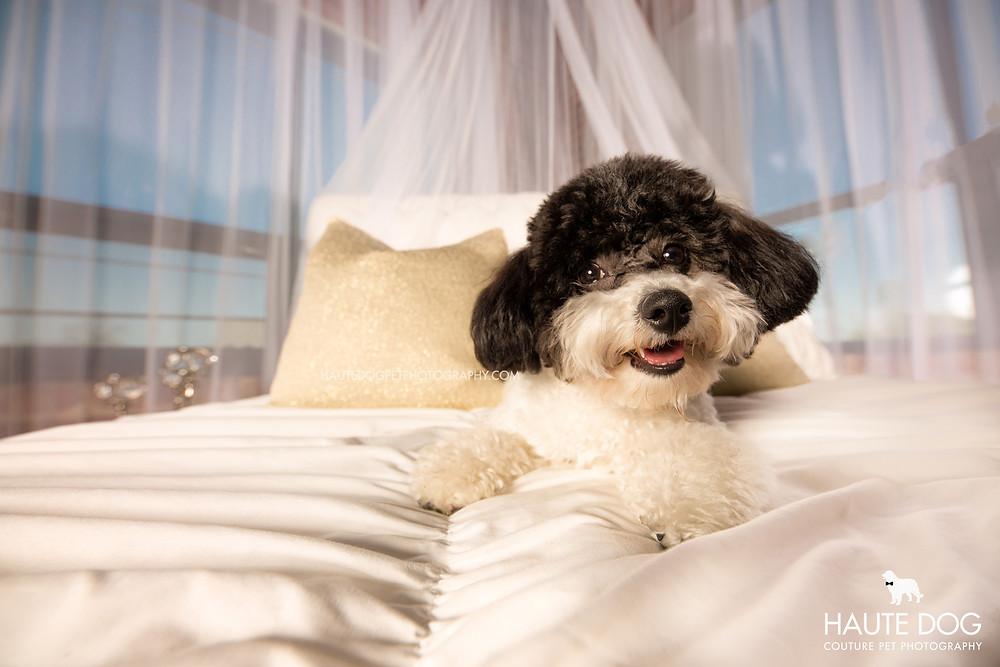 Dallas pet photographer studio Cavapoo on fancy bed