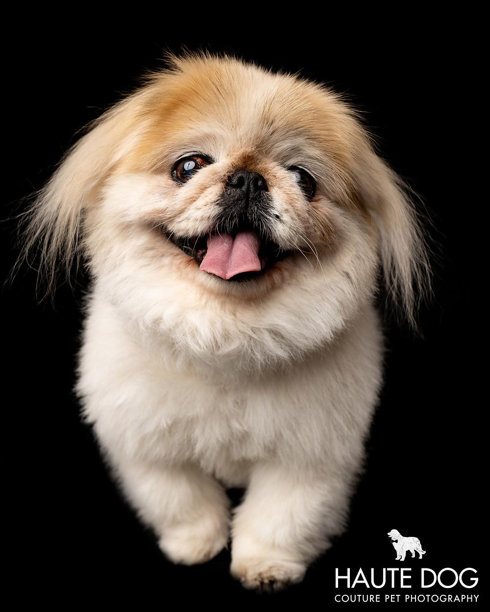 Dallas pet photographer Pekingese smiling dog