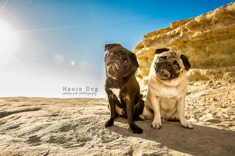 Pugs on Del Mar Dog Beach - San Diego pet photographer