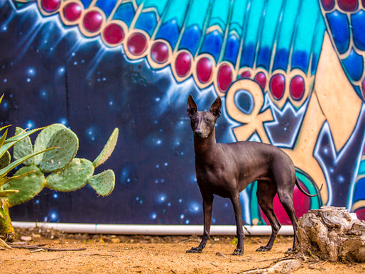 Frida the Xoloitzcuintli | Balboa Park, San Diego Dog Photography
