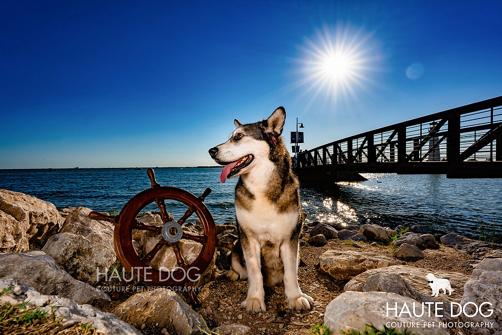 Alaskan Malamute service dog with ship wheel at harbor | Dallas dog photographer
