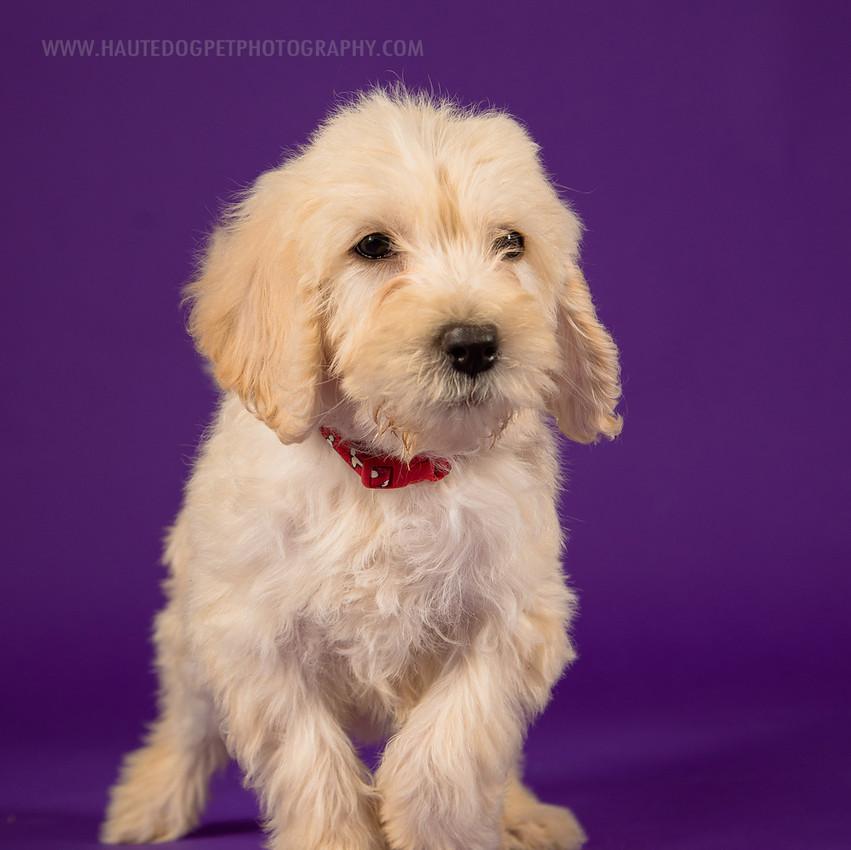 Dallas dog photographer doodle puppy