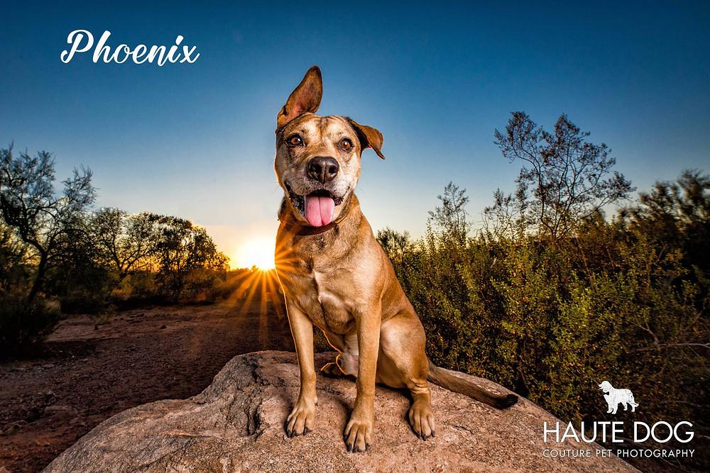 pit bull lab mix at Papago Park Phoenix destination dog photographer