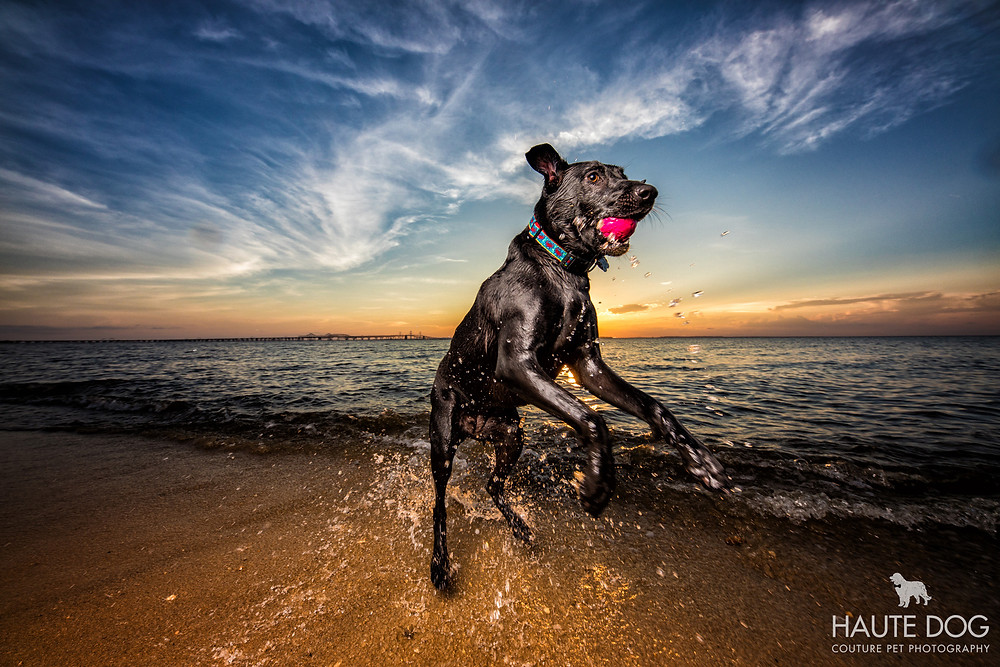 pet photograph of Black Labrador playing fetch at sunset in Chesapeake Bay water