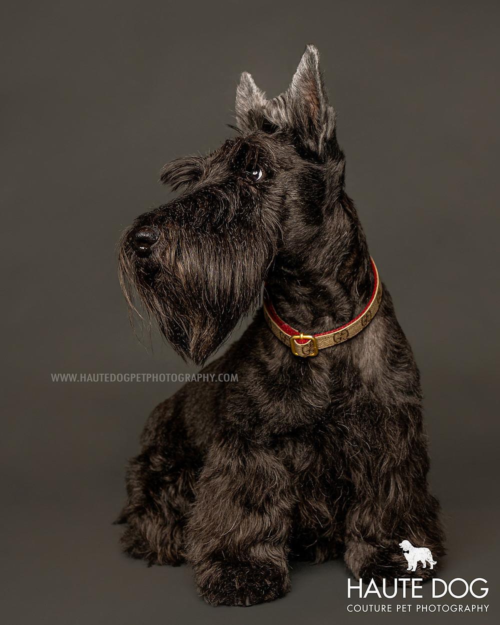Dallas dog photography studio Scottish Terrier on gray
