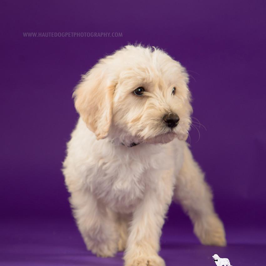 Dallas pet photographer doodle puppy
