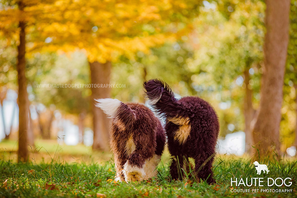Dallas dog photographer doodles in fall colors at White Rock Lake