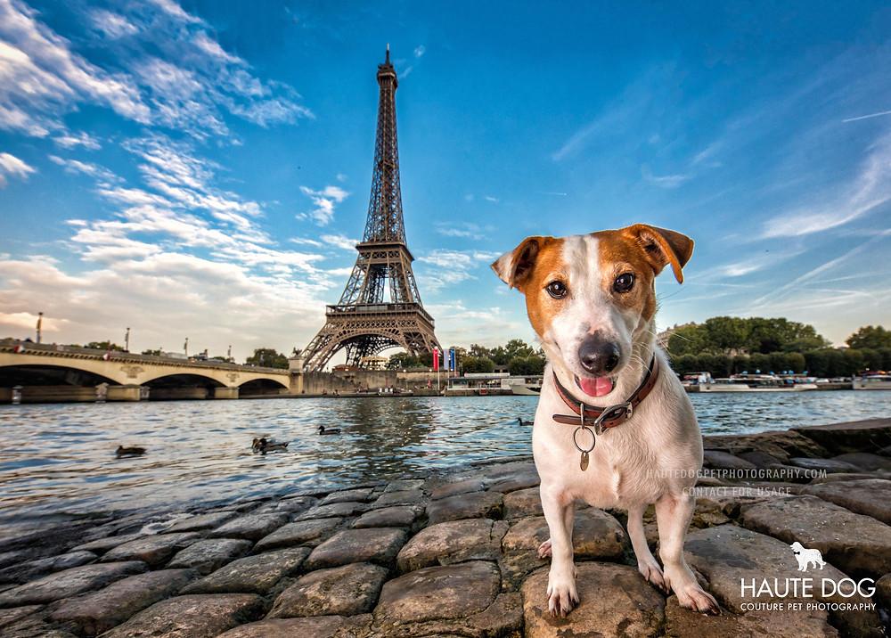 Jack Russell Terrier at Eiffel Tower Paris international destination dog photographer