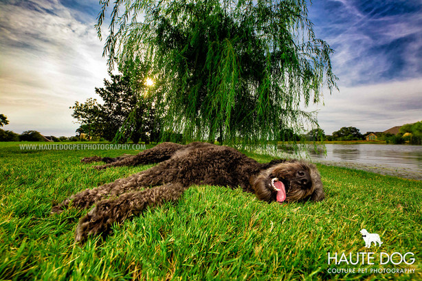 tired doodle laying in grass | Dallas pet photographer