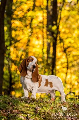 Bassett Hound yellow leaves.jpg