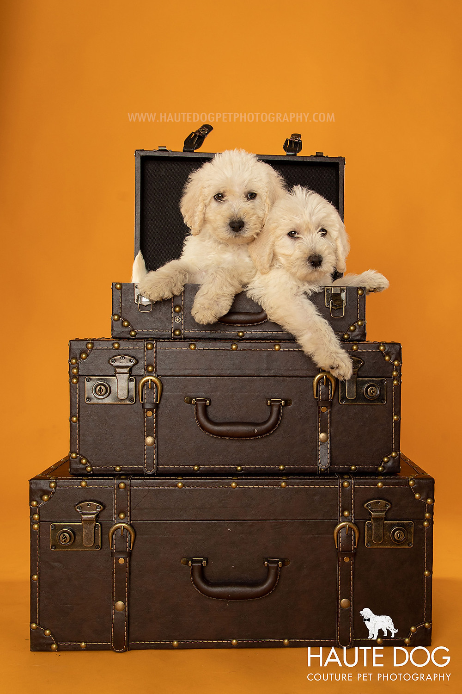 Dallas pet photographer doodle puppies in vintage suitcase