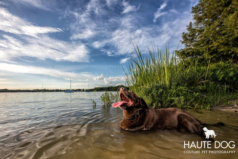 Chocolate Lab in water at White Rock Lake - Dallas dog photographer