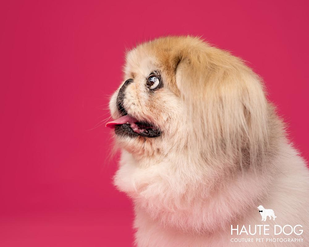 Dallas dog photographer Pekingese pink profile