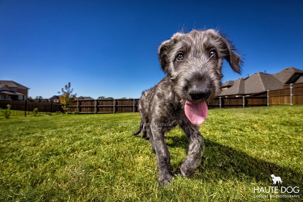 Irish Wolfhound puppy | Dallas pet photographer