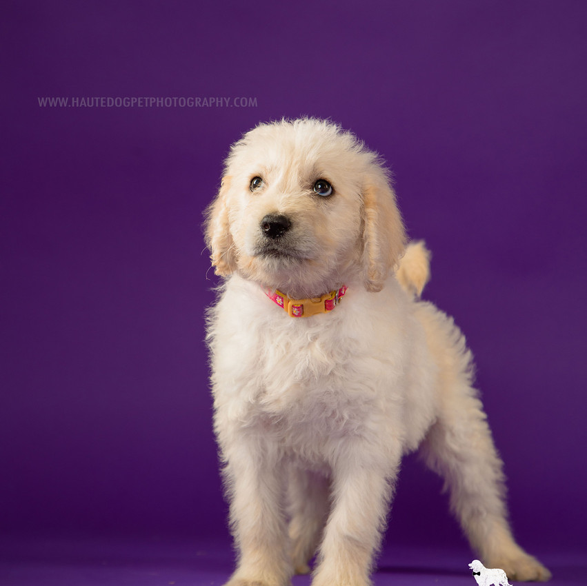 Dallas doodle puppy photography