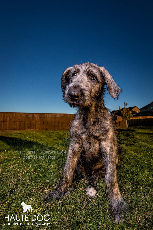 Dallas pet photographer's Irish Wolfhound puppy