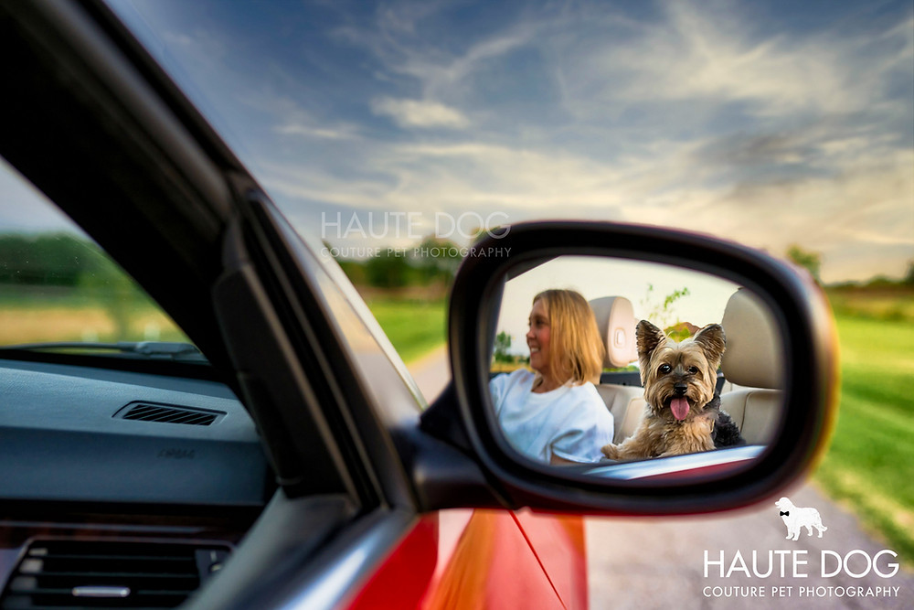 Yorkshire Terrier riding in BMW convertible | Dallas dog photographer