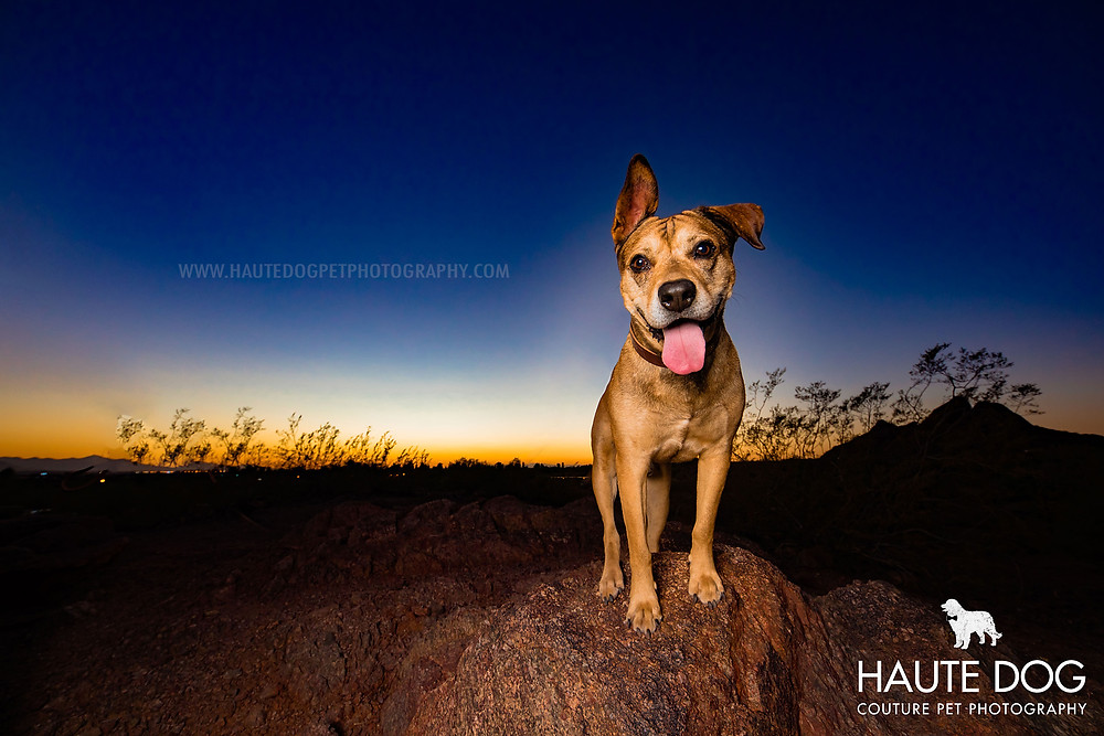 Dallas pet photographer dog at sunset