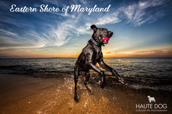 Lab jumping for ball Maryland beach
