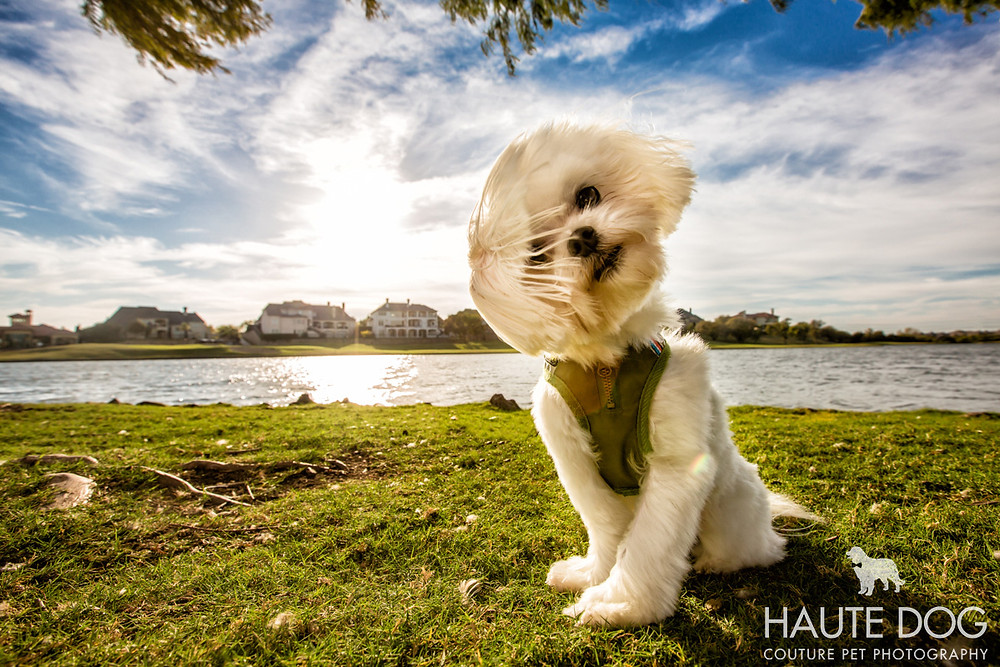 Dallas pet photography Maltese at Castle Hills