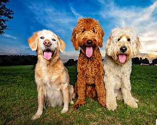 Goldendoodles at sunset by Dallas dog photographer