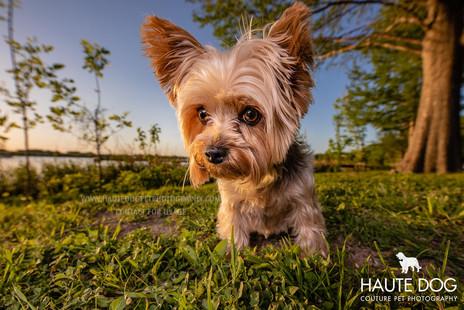 Yorkie at sunset - Dallas dog photographer