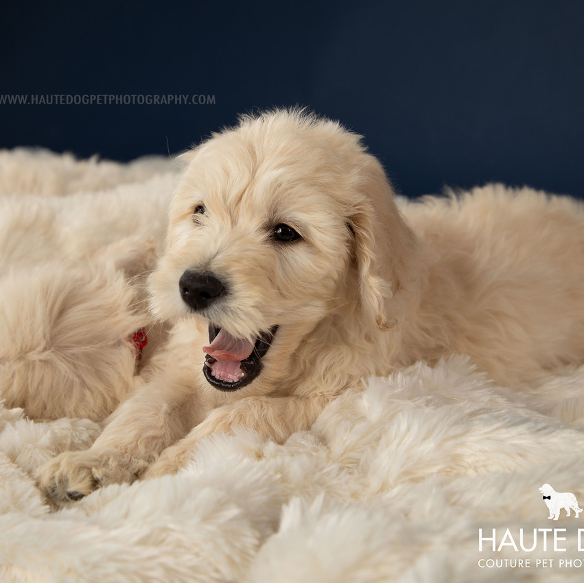Doodle Rock adopt Dallas puppy