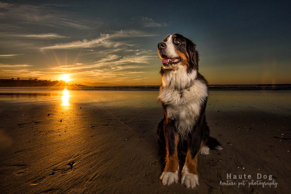 Bernese Mountain Dog at the beach | dog photographer