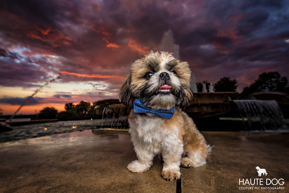 Shih Tzu in bow tie under the Dallas sunset sky